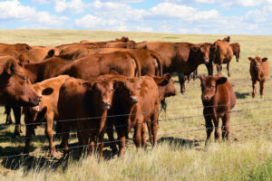 Fall Cow Calf Management | Olsen's Grain