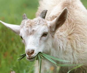 Prepare Goats for Cold Weather | Olsen's Grain