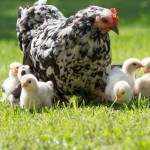 Chick Seminar