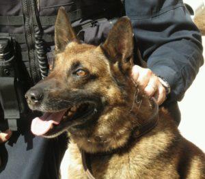 Jax a K9 police dog