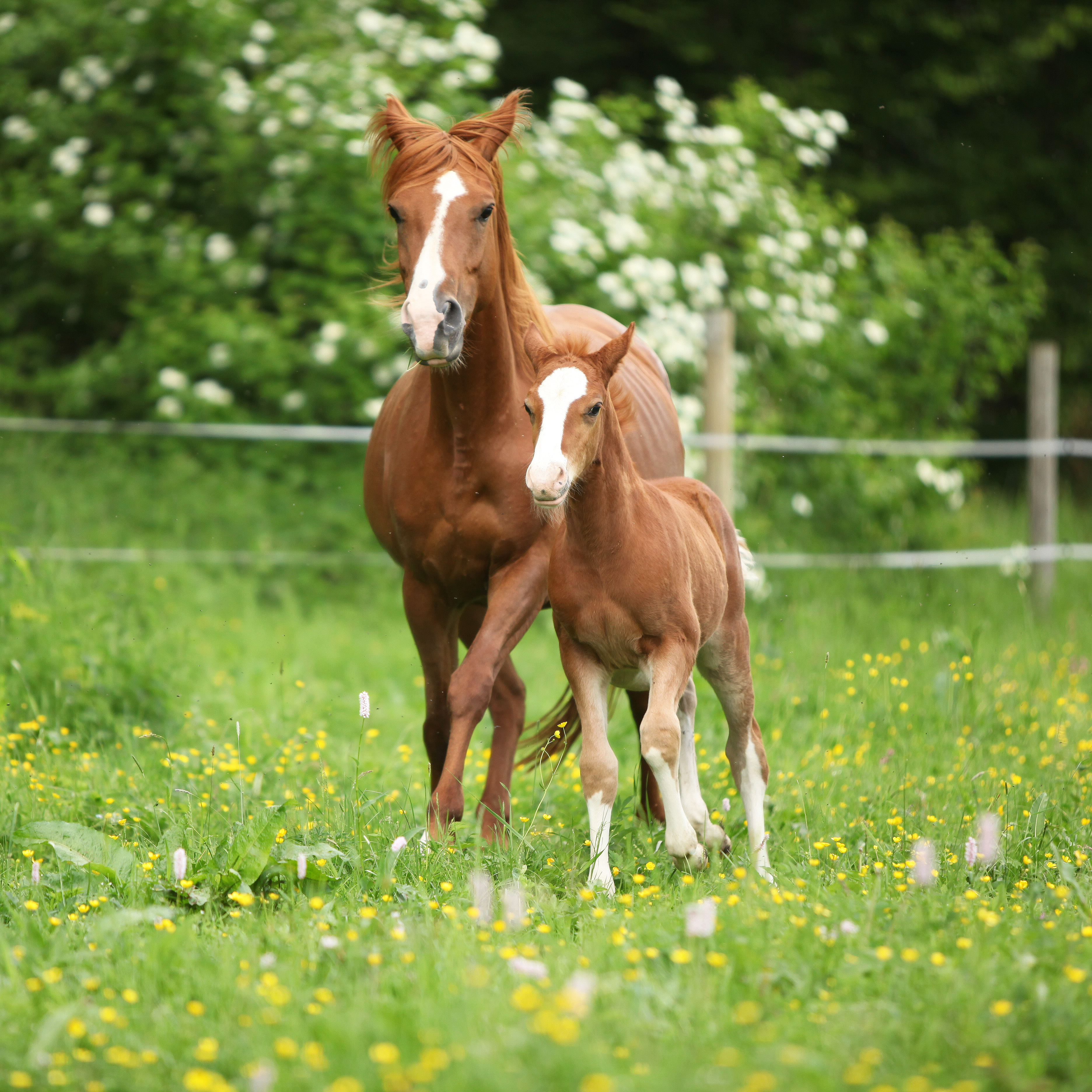 Beautiful mare running with foal :: Olsen's