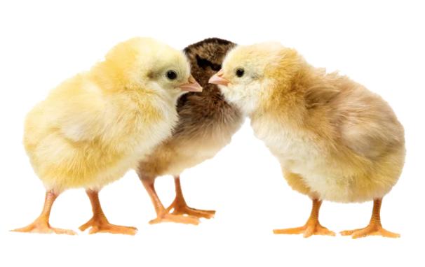 Prescott Chick Season 2018