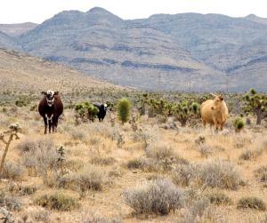 Cattle In Arizona